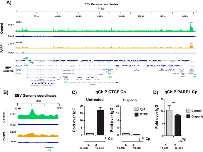 PARP inhibition alters CTCF binding across the Epstein-Barr virus genome. (A) ChIP-seq for CTCF across the EBV genome in untreated or olaparib-treated (PARPi) LCLs and respective input DNA. Peaks are expressed as counts per million reads. Corresponding genes in the linearized EBV genome are shown below. (B) Zoomed image of CTCF ChIP-seq at the latent Cp locus in LCLs, demonstrating the loss of enrichment after olaparib treatment. (C) Independent ChIP-qPCR validation of CTCF enrichment at Cp in untreated or olaparib-treated LCLs. qPCR data are presented as fold above the level for IgG. Results are representative of three independent experiments and show means ± standard deviations. (D) ChIP-qPCR for PARP1 in untreated or olaparib-treated LCLs. qPCR data are presented as fold above the level for IgG. Results are representative of three independent experiments and show means ± standard deviations (ns, not significant).
