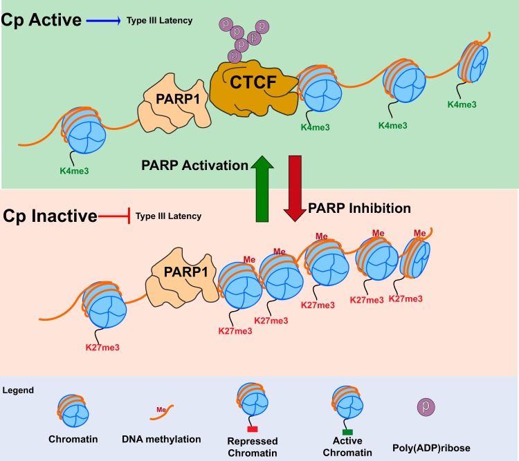 In type III latency, CTCF is PARylated by PARP1 at Cp to maintain the open chromatin landscape and transcription. (Top) During type III latency, PARP1 binds along with PARylated CTCF at the active Cp promoter. PARP1 and CTCF cooperate at Cp to promote open chromatin structure and active transcription by maintaining decondensed nucleosomes and H3K4me3 and preventing DNA methylation. (Bottom) PARP inhibition results in the loss of CTCF at Cp and is associated with the formation of a repressive chromatin environment at the Cp promoter. After PARP inhibition, the Cp promoter becomes enriched for DNA methylation, the repressive H3K27me3 mark, and the nucleosomes are compacted, resulting in decreased type III latency transcription.