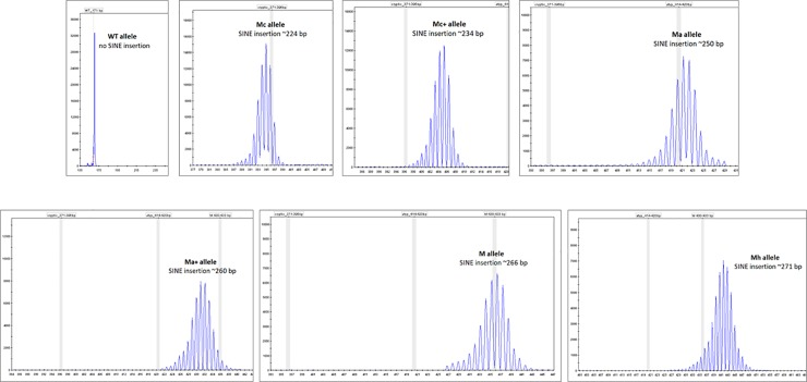 Typical chromatograms of the individuall alleles as obtained using ABI3500.