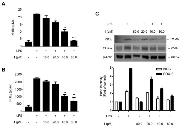 The effects of steppogenin ( 1 ) on nitrite ( A ) and prostaglandin E2 (PGE 2 ) ( B ) production and iNOS and COX-2 expression ( C ) in lipopolysaccharide (LPS)-stimulated BV2 microglial cells. ( A – C ) The cells were pretreated for 3 h with the indicated concentrations of 1 and then stimulated for 24 h with LPS (1 μg/mL). The data are presented as the mean ± SD of three experiments. The band intensity was quantified by densitometry and normalized to the intensity of the β-actin band; the normalized values are presented below each band. * p