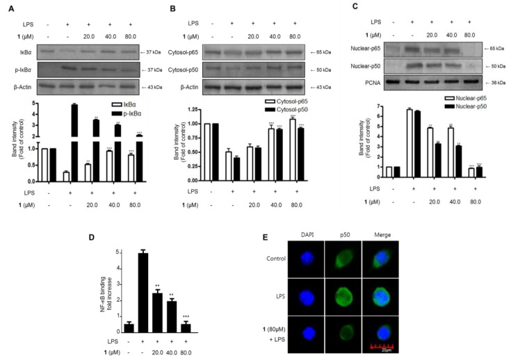 The effects of steppogenin ( 1 ) on IκB-α phosphorylation and degradation ( A ) NF-κB activation ( B , C ), NF-κB DNA binding activity ( D ), and NF-κB localization ( E ) in LPS-stimulated BV2 microglial cells. ( A – E ) The cells were pretreated for 3 h with the indicated concentrations of 1 and then stimulated for 1 h with LPS (1 μg/mL). The data are presented as the mean ± SD of three experiments. The band intensity was quantified by densitometry and normalized to the intensity of the β-actin or proliferating cell nuclear antigen (PCNA) band; the normalized values are presented below each band. ** p