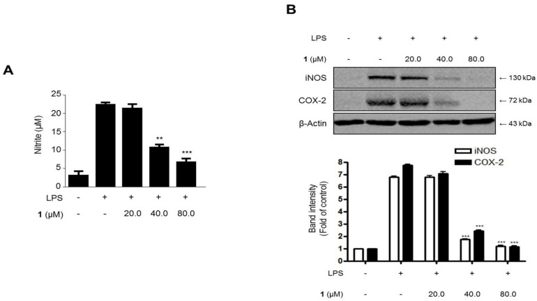 The effects of steppogenin ( 1 ) on nitrite ( A ) production and iNOS and COX-2 expression ( B ) in lipopolysaccharide (LPS)-stimulated primary rat microglial cells. ( A , B ) The cells were pretreated for 3 h with the indicated concentrations of 1 and then stimulated for 24 h with LPS (1 μg/mL). The data are presented as the mean ± SD of three experiments. The band intensities were quantified by densitometry and normalized to the intensities of the β-actin band; the normalized values are presented below each band. ** p