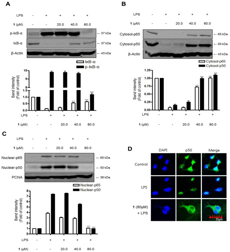 The effects of steppogenin ( 1 ) on IκB-α phosphorylation and degradation ( A ), NF-κB activation ( B , C ), and NF-κB localization ( D ) in LPS-stimulated primary rat microglial cells. ( A – D ) The cells were pretreated for 3 h with the indicated concentrations of 1 and then stimulated for 1 h with LPS (1 μg/mL). Total proteins were prepared and the western blot analysis was performed using specific IκB-α, p-IκB-α p65, and p50 antibodies. A commercially available NF-κB ELISA (Active Motif) was used to test the nuclear extracts and determine the degree of NF-κB binding. The data are presented as the mean ± SD of three experiments. The band intensities were quantified by densitometry and normalized to the intensity of β-actin or PCNA; the normalized values are presented below each band.