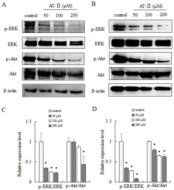 Expression levels of <t>ERK,</t> p-ERK, <t>Akt</t> and p-Akt in HGC-27 and AGS cells. ( A ) HGC-27 cells; ( B ) AGS cells; ( C ) relative expression levels of p-ERK/ERK and p-Akt/Akt in HGC-27 cells; ( D ) relative expression levels of p-ERK/ERK and p-Akt/Akt in AGS cells. * p