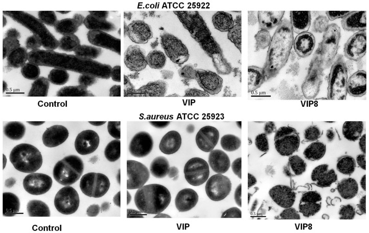 Antimicrobial mechanism of VIP and the VIP analogue 8. Transmission electron micrographs of  E. coli  ATCC 25922; Transmission electron micrographs of  S. aureus  ATCC 25923; bacteria in mid-logarithmic growth were treated with peptides at 1 × MIC for 2 h.
