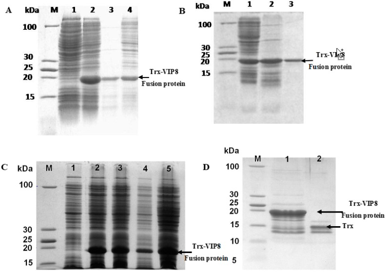 Expression, purification and identification of recombinant VIP analogue 8. ( A ) Expression of pET32a-VIP8 fusion protein analysed by SDS-PAGE. lane M: protein molecular mass marker; lane 1: un-induced BL21(DE3)-pET32a-VIP8; lane 2: induced BL21(DE3)-pET32a-VIP8 by isopropyl-β- d -thiogalactoside; lane 3: supernatant of bacterial lysate; lane 4: precipitation of bacterial lysate; ( B ) Purification of pET32a-VIP8 fusion protein by BeaverBeads TM His-tag Protein Purification kit; lane M: protein molecular mass marker; lane 1: induced whole BL21(DE3)-pET32a-VIP8 protein; lane 2: supernatant of bacterial lysate; and lane 3: purified pET-32a-VIP8 fusion protein; ( C ) Effect of post-induction time on the expression of BL21(DE3)-pET32a-VIP8 protein; lane M: protein molecular marker; lane 1: un-induced BL21(DE3)-pET32a-VIP8; lane 2, 3, 4, 5: induced BL21(DE3)-pET32a-VIP8 by isopropyl-β- d -thiogalactoside for 2, 4, 8, and 20 h respectively; ( D ) A 12% Tricine-SDS-PAGE analysis of the cleavage reaction and purification of the recombinant VIP8. Lane M: low protein molecular weight standard; lane 1: Trx-VIP8 fusion protein without enterokinase digestion; lane 2: purified recombinant VIP8 after enterokinase digestion.