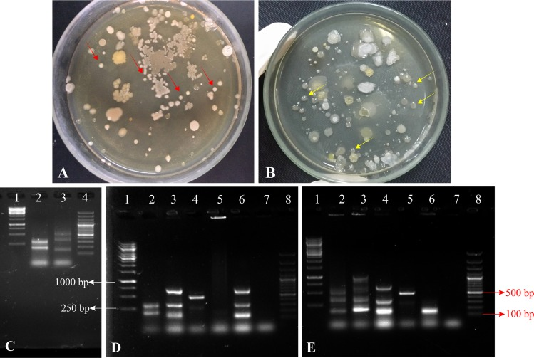Detection of inoculated P solubilizing bacteria at 35 DAS. Viable count after 35 days to study the survival of Pseudomonas sp. MS16 ( A ) and Enterobacter sp. MS32 ( B ) on the roots of wheat plants. Yellow, circular and shiny colonies indicated by red arrows show the presence of Pseudomonas sp. MS16 while Off-white, circular, and shiny colonies indicated by yellow arrows show presence of Enterobacter sp. MS32 among total indigenous bacterial soil population. Amplification of colony of isolated bacteria by using BOX primer in PCR ( C ). BOX-PCR of re-isolated colonies obtained from rhizosphere of plants grown in pots inoculated with; (A) Pseudomonas sp. MS16; Lane 1: 1 Kb DNA Ladder, Lane 2: Re-isolated colony of Pseudomonas sp. MS16; Lane: 3-6 Colonies of other isolates obtained, Lane:7 Negative control, Lane 8: 100bp DNA Ladder. (B) Enterobacter sp. MS32; Lane 1: 1 Kb DNA Ladder, Lane 2: Re-isolated colony of Enterobacter sp. MS32, Lane: 3-6 Colonies of other isolates obtained, Lane:7 Negative control, Lane 8: 100bp DNA Ladder.