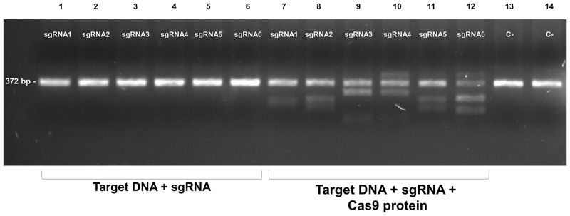 All six sgRNA produce <t>Cas9-driven</t> cleavage in vitro . 200 ng of the PCR product of the LuloYLW gene exon 3 were incubated with each individual sgRNA (3.2 μM) in the absence (lanes 1–6) or presence of 3.8 μM Cas9 protein (lanes 7–12). <t>DNA</t> bands size corresponds to the expected size according to each cleavage site (sgRNA1 = 218 bp, 154 bp; sgRNA2 = 230 bp, 142 bp; sgRNA3 = 294 bp, 78 bp; sgRNA4 = 279 bp, 93; sgRNA5 = 158 bp, 214 bp and sgRNA6 = 148 bp, 224 bp). As negative controls, 200 ng of PCR product alone (lane 13) or in combination with Cas9 protein (lane 14) were included. All samples were run on 2.2% agarose gels and visualized under UV light.