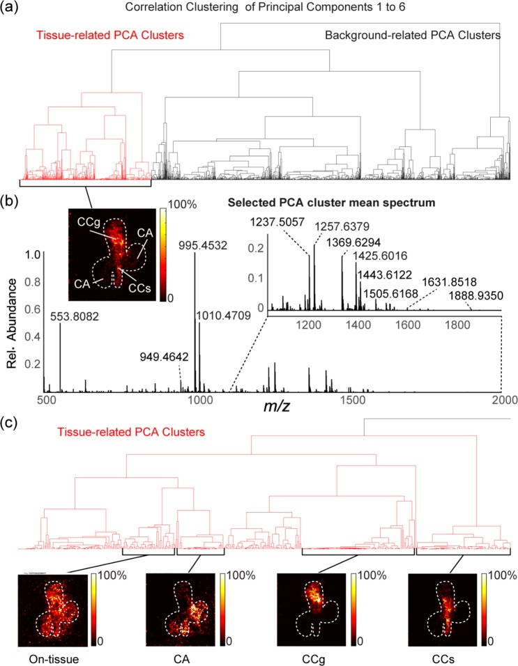 """(a) Correlation clustering of principal components 1–6 of a positive-ion mode MALDI-MSI Orbitrap data set of P. americana FFPE retrocerebral complex tissue section. (b) Mean spectrum representing selected cluster from (a) showing highest spatial correlation with tissue region based on visual comparison. Insets: associated PCA cluster image showing spatial correlation of spectrum at each pixel position, and magnified subset of spectrum for m / z 1100–2000 range. (c) Subset PCA cluster images showing localized distributions for general """"on-tissue"""" features and three specific neuroendocrine tissue regions: CA, CCg, and CCs."""