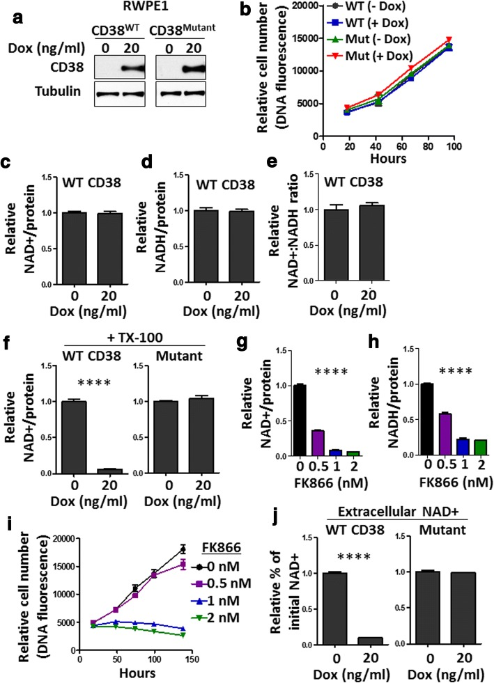 CD38 regulates extracellular but not intracellular NAD + levels in RPWE1 cells. a Western blots demonstrate doxycyline (Dox) induced expression of wild-type (WT) or mutant (E226Q) CD38 in RWPE1 cells. Tubulin serves as a loading control. b Cell proliferation assay over 4 days in culture in the presence or absence of 20 ng/mL Dox. Relative cell number was assessed by measuring DNA fluorescence at 465 nm. 3–6 replicate wells per group per time point were measured. Plot shows mean ± standard error of the mean (SEM). c , d NAD + and NADH levels were measured relative to total protein in each sample and presented relative to no Dox (non-induced) sample. Mean ± SEM of four replicates is shown. e NAD + :NADH ratio is calculated based on results shown in c and d . Mean ± SEM of four replicates is shown. f Cells were treated with Triton X-100 (TX-100) to permeabilize cells followed by NAD + measurements. NAD + /protein is shown relative to no Dox. Mean ± SEM of four replicates is shown. g – i RWPE1 cells were treated with increasing concentrations of FK866 followed by NAD + ( g ) and NADH ( h ) measurements. Mean ± SEM of four replicates is shown. Newman-Keuls Multiple Comparison Test. i Cell proliferation assay over 4 days in culture in the presence of the indicated concentrations of FK866. DNA fluorescence represents relative cell number. 3–6 replicate wells per group per time point were measured. Plot shows mean ± standard error of the mean (SEM). j Relative NAD + /protein levels in the media 30 min after the addition of 800 nM exogenous NAD + . Mean ± SEM of four replicates is shown