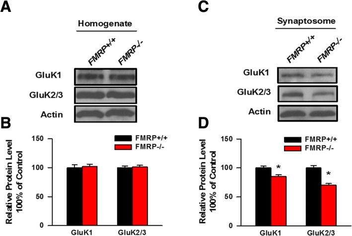 The abundance of KARs in the synaptosome is decreased in Fmr1 KO mice. a , b , Total expression levels of GluK1 and GluK2/3 in the homogenates fraction of the insular cortex conducted from Fmr1 WT and Fmr1 KO mice were detected by Western blot. The expression levels of GluK1 and GluK2/3 in the homogenates were not altered between Fmr1 WT and Fmr1 KO mice ( n = 3 mice for each group). c , d , Expression levels of GluK1 and GluK2/3 in the synaptosome of the insular cortex obtained from Fmr1 WT and Fmr1 KO mice were detected by western blot anaylsis. The expression levels of GluK1 and GluK2/3 in the homogenates was significantly reduced in Fmr1 KO mice compare to Fmr1 WT mice ( n = 5 mice for each group). * P