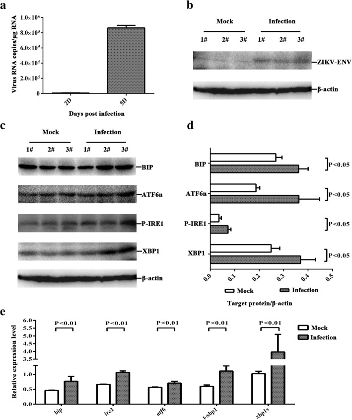 ZIKV infects the nervous tissues of the mouse brain and activates the ER stress markers . Three-week-old AG6 mice were infected with 1 × 10 5 PFU/mouse (each dose, N = 3) via intraperitoneal injection. a . The total mRNA of the mouse brain was extracted, and ZIKV mRNA was detected at 2 dpi and 5 dpi via RT-qPCR. b , c The total lysates of mouse brain were analyzed at 5 dpi via western blot. An equal amount of lysates were analyzed with anti-ZIKV envelope protein antibody ( b ), anti-BIP antibody, anti-ATF6n antibody, anti-phoshpo-IRE1 antibody, and anti-XBP1 antibody ( c ). d . The band was analyzed by using Image Lab 4.0.1. The fold change of the target protein / β-actin was calculated. The protein expression of mock-infected and ZIKV-infected samples were normalized with the internal control β-actin. e . Primers that specifically amplified bip , ire1 , atf6 , t-xbp1 , and xbp1s were used. The relative expression levels of the genes were calculated according to the 2 −∆∆ Ct method. Data represented three independent experiments and error bars indicate mean ± SD. Statistical analyses were performed using multiple t tests ( N = 3) ( P