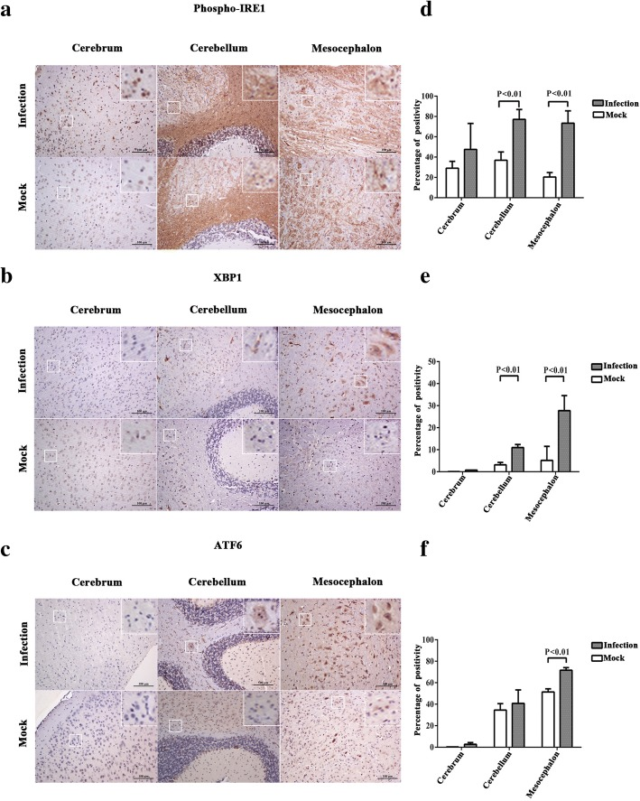 ZIKV infection upregulates the expression of phospho-IRE1, XBP1, and ATF6 in the mouse brain. Three-week-old AG6 mice were infected with 1 × 10 5 PFU/mouse (each dose, N = 3) via intraperitoneal injection. a , b , c Sections of the cerebrum, cerebellum, and mesocephalon were obtained at 5 dpi, and anti-phospho-IRE1 antibody ( a ), anti-XBP1 antibody (recognizing both non-spliced and spliced isoforms of XBP1) ( b ), and anti-ATF6 antibody (recognizing both cleaved and full forms of ATF6) ( c ) were used for immunohistochemistry assay. Purple dots represent the cell nucleus. Brown spots represent the ZIKV envelope protein. A representative of three independent experiments is shown. Positive cells marked by white squares were magnified nine times and showed on the top-right corner. d , e , f Aperio ImageScope viewing software was used to analyze the percentage of positivity (algorithm, positive pixel count). Data represented three independent experiments and error bars indicate mean ± SD. Statistical analyses were performed using multiple t tests ( N = 3) ( P