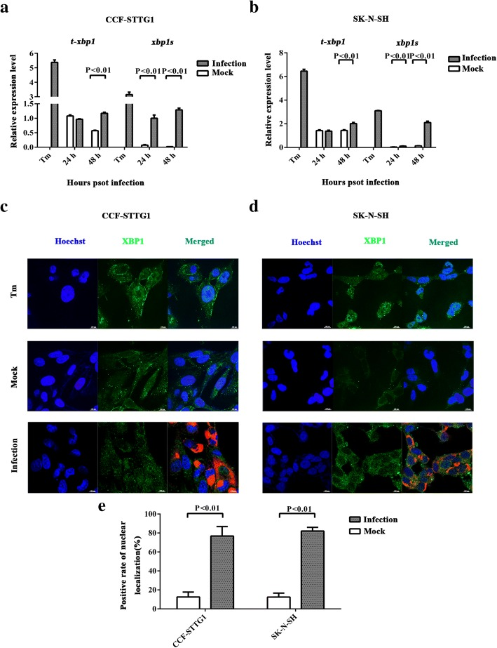 ZIKV infection induces the splicing of <t>xbp1</t> and the translocation of XBP1s into the nuclei of human neural cells. a , b CCF- STTG1 and SK-N-SH were infected with ZIKV at an MOI of 5 PFU/cell. Positive control (Tm) was treated with 2 μM tunicamycin. RNA was extracted at 24 and 48 hpi and the first strand cDNA was synthesized. Primers that specifically amplified xbp1s and total xbp1 (including both xbp1u and xbp1s ) were used to analyze xbp1s via RT-qPCR. The relative expression levels of the xbp1s and t-xbp1 were calculated according to the 2 −∆∆ Ct method. The ratios of xbp1s / t-xbp1 between mock-infected and ZIKV-infected were calculated. Data represented three independent experiments and error bars indicate mean ± SD. Statistical analyses were performed using multiple t tests ( N = 3) ( P
