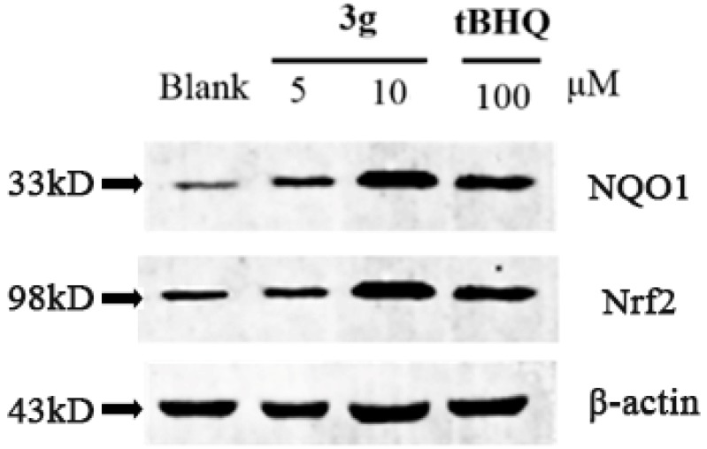 3g can elevate the protein level of Nrf2 and <t>NQO1.</t>