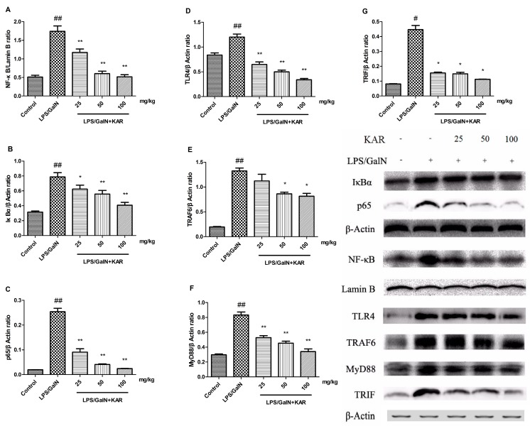 The expression of NF-κB and TLR4 signaling pathway-related proteins, such as NF-Κb ( A ); IκBα ( B ); p65 ( C ); TLR4 ( D ); TRAF6 ( E ); MyD88 ( F ); and TRIF ( G ); were detected using a Western blotting assay in the liver tissues of each group 6 h after D-GalN/LPS administration. The data represented show the mean ± SD. Data of IκBα, p65, and NF-κB are normalized to that of Lamin B, and that of TLR4, TRAF6, MyD88, and TRIF are normalized to β-actin. * p