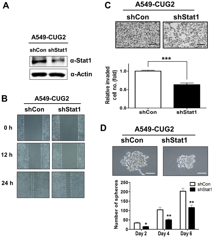 Constitutive suppression of STAT1 inhibits CUG2-induced cell migration, invasion, and sphere formation. (A) After transfection with sh-STAT1 (A549-CUG2-shSTAT1) or control plasmid (A549-CUG2-shVec) and selection under puromycin (1 µg/ml), suppression of STAT1 expression was confirmed by immunoblotting using an anti-STAT1 antibody. (B) After confluence of A549-CUG2-shSTAT1 and A549-CUG2-shVec cells, the cell monolayer was scratched. Cell migration was measured by a wound healing assay. (C) An invasion assay was compared between A549-CUG2-shSTAT1 and A549-CUG2-shVec cells using 48-well Boyden chambers coated with Matrigel. Scale bar indicates 100 µm (***P