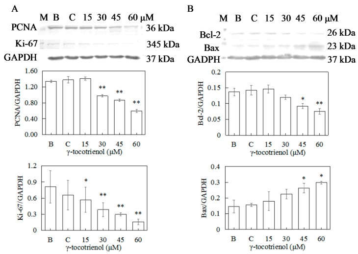 Effect of γ-tocotrienol on expression of proliferation and apoptosis-related proteins in HeLa cells. Cells were treated with various concentrations of γ-tocotrienol for 24 h. The expression levels of PCNA and Ki-67 ( A ), Bcl-2 and Bax ( B ) were analyzed by Western blot method. * p