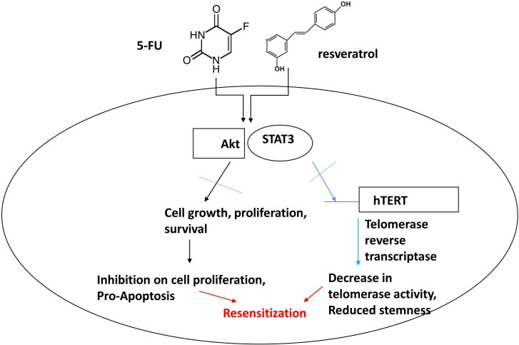 Schematic representation of combination treatment effects with 5-FU and resveratrol in colorectal cancer cells The combined treatments with 5-FU and resveratrol inhibit Akt and STAT3 signaling pathways in colorectal cancer. Akt plays a key role in cell proliferation and survival and STAT3 is key transcription factor for telomerase and other target genes involved in immune response and potential stem-like traits. Our model suggests that combined treatments of 5-FU and resveratrol drive apoptosis by inhibiting Akt and STAT3, concurrently decreasing telomerase activity and downregulating target genes of STAT3 leading to re-sensitization of colorectal cancer to chemotherapy.
