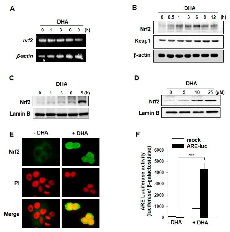 DHA-induced expression, nuclear translocation and transcriptional activity of Nrf2. ( A ) Total RNA was isolated from cells treated with or without DHA for indicated duration and analyzed by RT-PCR for detecting the level of Nrf2 mRNA; ( B ) MCF-10Acells were exposed to DHA (25 μM) were harvested at the indicated intervals, and the protein levels were assessed by Western blot analysis. ( C ) Nuclear extracts from MCF-10A cells were prepared at the indicated intervals after treatment with DHA (25 μM). ( D ) MCF-10A cells were treated with indicated concentrations of DHA for 9 h and the nuclear translocation of Nrf2 was assessed by Western blot analysis. ( E ) MCF-10A cells were incubated with DHA (25 μM) for 9 h and nuclear localization of Nrf2 was determined by immunocytochemical analysis. ( F ) MCF-10A cells were treated with DHA (25 μM) for 9 h after transfection with either an ARE luciferase construct or a control vector and analyzed for the Nrf2 transcriptional activity as described in Materials and Methods. Columns, means (n = 3); bars, SD. ***, p