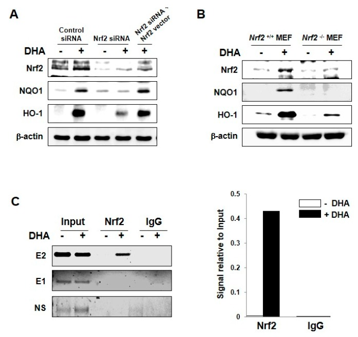 Role of Nrf2 in DHA-induced expression of HO-1 and NQO1. ( A ) MCF-10A cells were transfected with siRNA control, siRNA Nrf2, or siRNA Nrf2 plus Nrf2 full-sequence vector for 12 h and exposed to DHA (25 μM) for another 9 h. Whole cell lysates were subjected to Western blot analysis. ( B ) Nrf2-WT or Nrf2-null MEF cells were incubated with 25 μM of DHA for 12 h, and the expression of Nrf2, HO-1, and NQO1 was measured by Western blot analysis. ( C ) MCF-10A cells were treated with DHA (25 μM) for 9 h and harvested to determine the ARE binding activity by the ChIP assay. Chromatin immunoprecipitated DNA was analyzed by RT-PCR with primers for distal E2 (−9.0 kb region) and E1 (−4.0 kb region) AREs as well as non-specific region (after −9.0 kb) of the HO-1 promoter.