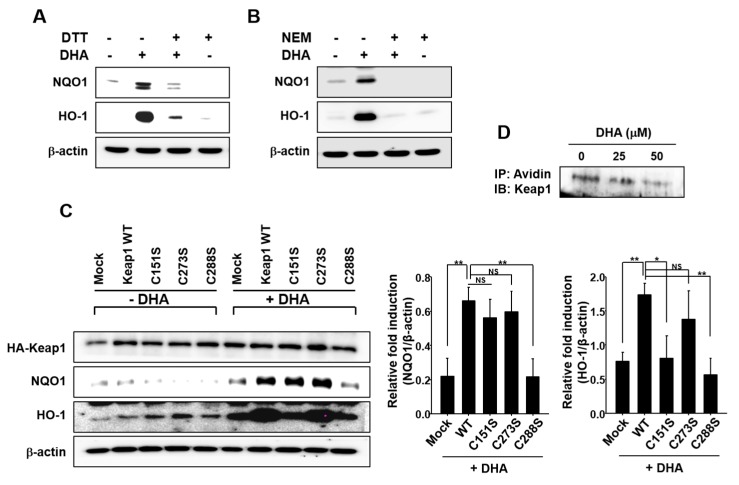 Possible involvement of Keap1 cysteine thiol modification in DHA-induced HO-1 and NQO1 expression. ( A ) MCF-10A cells were pretreated with or without a thiol reducing agent DTT (500 μM) for 1 h, followed by 18-h incubation with 25 μM DHA. ( B ) Cells were pretreated with another thiol reducing agent NEM (25 μM) for 1 h, followed by 18-h incubation with 25 μM DHA. ( C ) MCF-10A cells were transfected with HA-mock, HA-Keap1 WT, Keap1-C151S, Keap1-C273S, or Keap1-C288S expressing vector for 24 h, and incubated with DHA (25 μM) for another 9 h to determine the expression of HO-1 and NQO1. HA-Keap1 was used to ensure the equal expression of mutant vectors. Each blot is a representative of three different experiments. Columns, means (n = 3); bars, SD. *, p