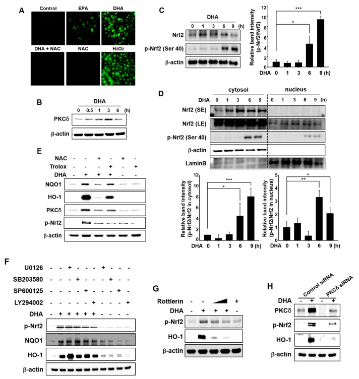 Role of ROS in DHA-induced Nrf2 activation mediated by PKCδ. ( A ) MCF-10A cells were treated with each indicated drug (EPA and DHA; 25 μM, NAC; 5 mM, H 2 O 2 ; 100 μM) or in proper combination for 3 h and then examined for the intracellular accumulation of ROS under the confocal microscope after DCF-DA fluorescence staining. ( B ) Cells were treated with DHA (25 μM) for the indicated time periods, and the effect of DHA on PKCδ activation was determined by Western blot analysis. ( C ) MCF-10A cells treated with DHA (25 μM) were harvested at the indicated time intervals. The effect of DHA on the phosphorylation of Ser 40 at Nrf2 was assessed by Western blot analysis. Each blot is a representative of three different experiments. Columns, means (n = 3); bars, SD. * p
