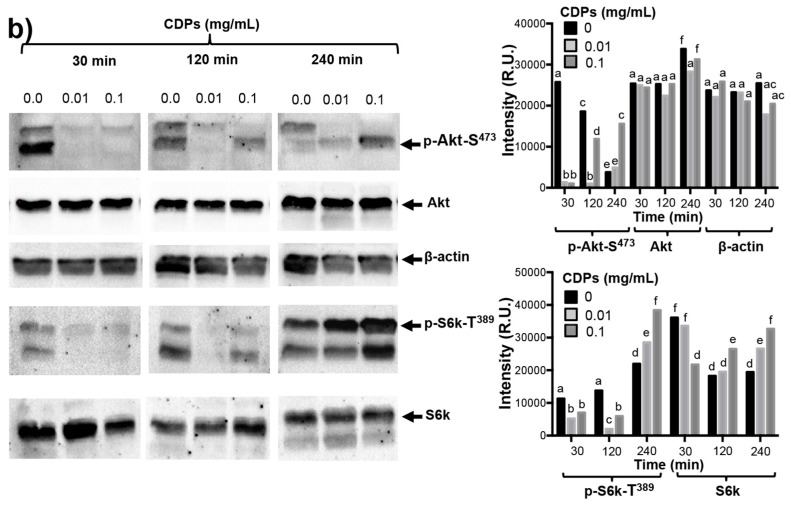 Effects of the CDP mixture from P. aeruginosa PAO1 on Akt and S6k phosphorylation and expression in HeLa cells. HeLa cells were incubated in SS and CM media and treated with 0.01 or 0.1 μg/mL PAO1-CDP mixture. At the indicated time points, cells were harvested and disrupted by sonication, and the solubilized proteins were separated by denaturing polyacrylamide gel electrophoresis (SDS-PAGE). Gels were electroblotted to PVDF membranes, and protein bands immunodetected using the indicated antibodies [anti-Akt (C-20-R), anti-Akt-phosphoryled 1/2/3 (Ser 473-R), anti-p70 S6 kinase α (H-160), anti-phosphoryled-p70 S6 kinase α (Thr 389)-R, and anti-β-actin] as the first antibody and a horseradish peroxidase <t>(HRP)-conjugated</t> goat anti-rabbit <t>IgG</t> antibody as the second antibody. Images correspond to representative gels from at least three independent treatments (left). Data correspond to the mean of three independent assays; the band intensity was determined by densitometry using the Image J software (right). ( a ) Immunodetection using the anti-phosphorylated Akt-S473 and anti-Akt antibodies after 5 and 15 min of treatment with the PAO1-CDP mixture; ( b ) HeLa cells extracts were obtained of cultures grown in CM media and treated with 0.01 or 0.1 mg/mL PAO1-CDP mixture. The same membranes reveled with anti-phosphorylated Akt-S473 were after immunodetected with the next antibodies: anti-Akt, anti-S6k, anti-phosphorylated-S6k-T389 and anti-β-actin. The assay was repeated at least three times using cell extracts from different cultures and treatments. A representative immunodetection assay is shown, and their plots of band intensity quantitation are shown to the right of the images. Bars represent mean of three densitometry determinations. Two-ways ANOVA was carried out, with Tukey's post hoc test; statistical significance ( p