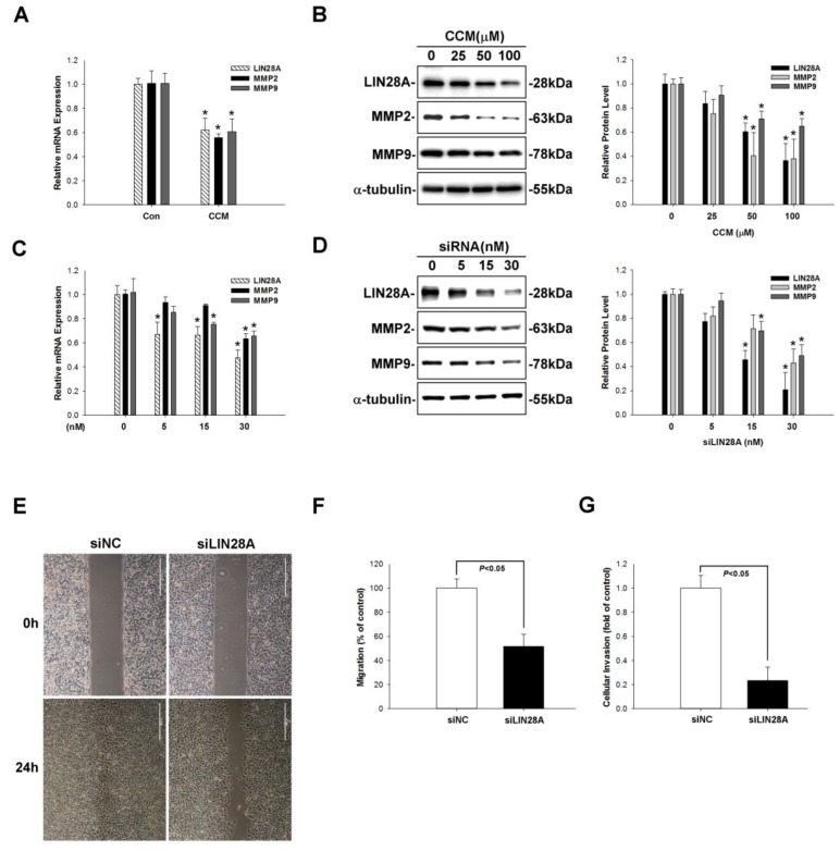Curcumin reduces LIN28A-induced MMP2/9 expression and blocks cancer metastasis. ( A ) Curcumin (100 μm) treatment decreased LIN28A expression. ( B ) Various curcumin (25, 50, 100 µm) treatment reduced LIN28A, MMP2/9 protein expression. ( C , D ) LIN28A silencing decreased LIN28A expression and MMP2/9 mRNA and protein expression in A549 cells, as determined by qRT-PCR and western blotting, respectively. LIN28A (30nM) knockdown significantly suppressed A549 cell migration ( E,F ) and invasion ( G ). Data represent mean ± SEM of three independent experiments. * p