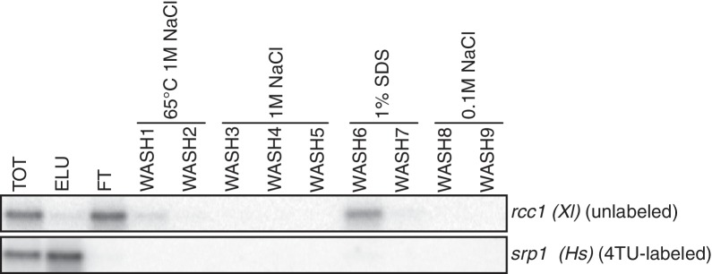 Analysis of unlabeled mRNA release during streptavidin bead purification. RNA mixtures were prepared as in Appendix1—figure 7 and total (TOT), eluate (ELU) flowthrough (FT) and wash (WASH1-WASH9) samples were analyzed by northern blot.