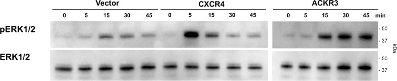 CXCL12-inudced ERK1/2 phosphorylation in HEK293 cells is augmented after transfection with CXCR4 and ACKR3. HEK293 cells were transfected with empty vector (left), CXCR4 (center) or ACKR3 (right) and stimulated with 100 nM of CXCL12 for various time periods as indicated. ERK1/2 phosphorylation was monitored by Western blotting of cell lysates with anti-phophoERK1/2 (pERK) and anti-ERK1/2. The migration position of molecular mass standards is indicated.