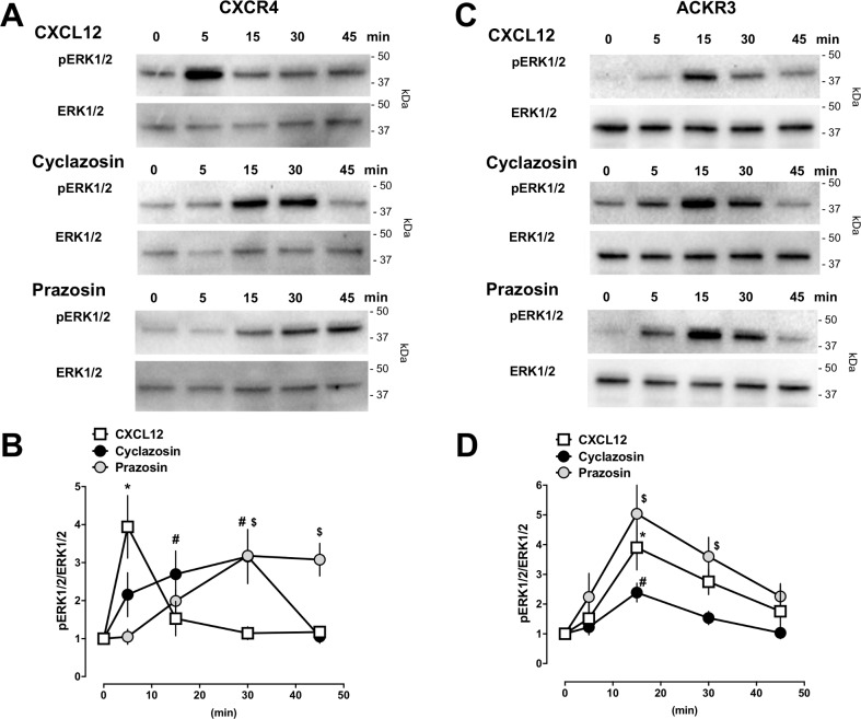 Prazosin and cyclazosin induce ERK1/2 phosphorylation. HEK293 cells transfected with CXCR4 ( A/B ) or ACKR3 ( C/D ) were stimulated with CXCL12 (100 nM), prazosin (100 μM) or cyclazosin (100 μM) for various time periods as indicated. ERK1/2 phosphorylation was monitored by Western blotting of cell lysates with anti-phophoERK1/2 (pERK) and anti-ERK1/2 (ERK1/2). A. Representative images from Western blot experiments with cells transfected with CXCR4. The migration position of molecular mass standards is indicated. B. Densitometric quantification of the band intensities, expressed as pERK1/2/ERK1/2, from n = 3 independent experiments as in A. Data are mean ± SE. Symbols (*: CXCL12; #: cyclazosin; $: prazosin) indicate significant differences vs. t = 0 min. C. Representative images from Western blot experiments with cells transfected with ACKR3. The migration position of molecular mass standards is indicated. D. Densitometric quantification of the band intensities, expressed as pERK1/2/ERK1/2, from n = 5 independent experiments as in B. Data are mean ± SE. Symbols (*: CXCL12; #: cyclazosin; $: prazosin) indicate significant differences vs. t = 0 min.