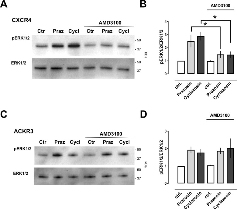 Effects of AMD3100 on prazosin and cyclazosin induced ERK1/2 phosphorylation. ERK1/2 phosphorylation was measured and analyzed as in Fig 3 . Cells were pre- incubated with AMD3100 (10 μM, 15 min), followed by stimulation with vehicle (control, ctrl), prazosin (Praz) or cyclazosin (Cycl, 100 μM each) for 20 min. A. Representative images from Western blot experiments with cells transfected with CXCR4. The migration position of molecular mass standards is indicated. B. Densitometric quantification of the band intensities, expressed as pERK1/2/ERK1/2, from n = 5 independent experiments as in A. Data are mean ± SE. *: p
