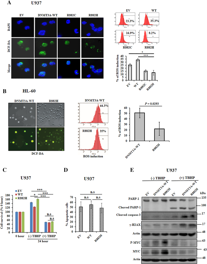 DNMT3A -R882 mutants reduce ROS production and overrode the ROS-mediated apoptosis in the presence of an oxidizing agent. (A) Stably transduced U937 cells incubated with H2DCF-DA for 30 minutes at 37°C incubator; fluorescent oxidized DCF (green) and DAPI (blue) were photographed with fluorescence microscopy (left panel, original magnification: ×1000). All the images were taken with same contrast and exposure time. Flow cytometry detecting the generation of fluorescent oxidized DCF; representative flow cytometry (right upper panel) and percentage of ROS induction are shown (right lower panel). (B) Stably transduced HL-60 cells stained with H2DCF-DA; staining cells were photographed with phase-contrast microscopy (left upper panel) and fluorescence microscopy (left lower panel); original magnification: ×100. Flow cytometry detecting the generation of fluorescent oxidized DCF; representative flow cytometry and percentage of ROS induction (right panel) are shown. (C) Inhibition of cell survival following 200 μM TBHP treatment for 24 hours. (D) After treatment of 200 μM TBHP for 24 hours, cells were harvested and labeled with FITC-Annexin V as described in methods. Flow cytometry was used to detect Annexin V–positive cells. (E) Apoptosis triggering by TBHP treatment; transformed U937 cells were incubated with 1 mM TBHP for 2 hours followed by a 2-hour incubation without TBHP. Cell lysates were prepared, and apoptosis inducing proteins including MYC and P-MYC expressions were checked by immunoblot. All studies were repeated at least once. The mean ± S.D. of at least two replicates was plotted; * P