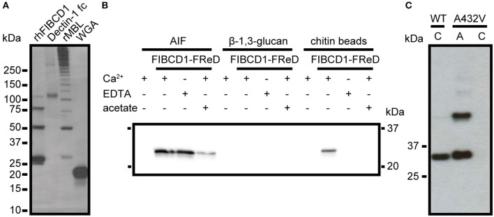 rFIBCD1-FReD binds A. fumigatus AIF calcium- and acetate-independently. (A) The presence and binding activity of β-1,3-glucan, galactomannan, and chitin in AIF was validated by pull down of know ligands Dectin-1 fc, rMBL, and WGA. The samples were subjected to <t>SDS-PAGE</t> and analyzed by silver staining. Color is adjusted to gray scale. (B) Western blot showing FIBCD1-FReD pull down by AIF-associated polysaccharides in the presence of calcium (5 mM CaCl 2 ), <t>EDTA</t> (10 mM), and acetate (100 mM). 2 mg of AIF, β-1,3-glucan, and chitin beads were incubated with 5 μg/mL FIBCD1-FReD and pull down was performed as described. Data represent three independent experiments. (C) Western blot showing wild type and A432V mutant FIBCD1-FReD pull down by chitin beads and AIF. Color is adjusted to gray scale. Lane 1, 3: chitin beads, Lane 2: AIF.