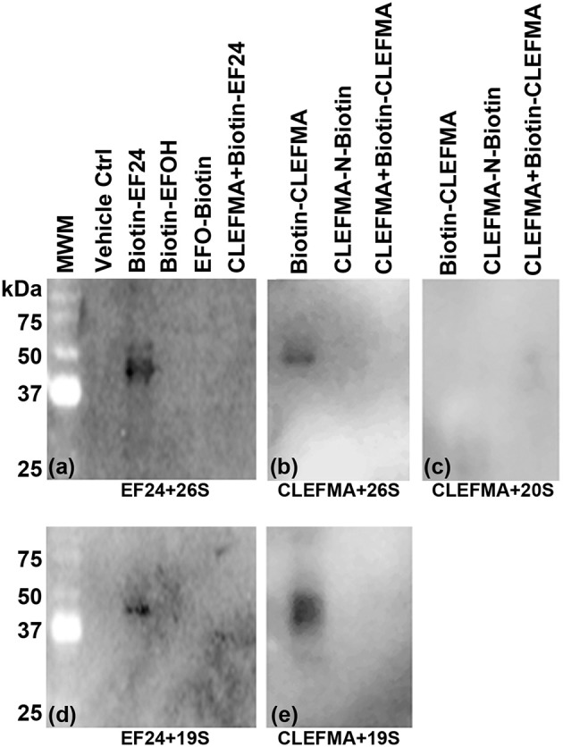 Interaction of EF24 and CLEFMA with proteasome. Highly purified (A,B) 26S proteasome, (C) 20S proteasome, and (D,E) 19S regulator were allowed to interact with biotinylated analogs of EF24 or CLEFMA (10 μM). The mixtures were separated on a regular 10% reducing gel and the transfer membranes were probed for biotin using HRP-streptavidin.