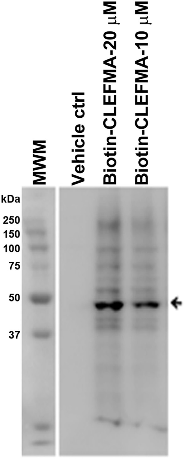 IEC-6 cell lysate was incubated with biotin-CLEFMA (10 and 20 μM) or CLEFMA-N-biotin (10 μM) and separated on a gel. After transferring to a membrane, the proteins were probed <t>HRP-streptavidin.</t>