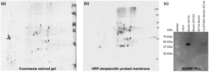 CLEFMA and EF24 interact with RPN13. Purified 19S regulatory particle was allowed to react with biotin-CLEFMA and the reaction mixture was separated by 2D-gel electrophoresis. (a) Coomassie-stained 2D-gel and (b) Corresponding transfer membrane probed with HRP-streptavidin. The four spots identified in the pictures were subjected to mass spectroscopic analysis (Table S1 ). (c) Recombinant human RPN13-Pru protein was reacted with various biotin-EF24 in presence (lane 6) or absence (lane 3) of free CLEFMA. Inactive biotinylated analogs of EF24 were also reacted as controls.