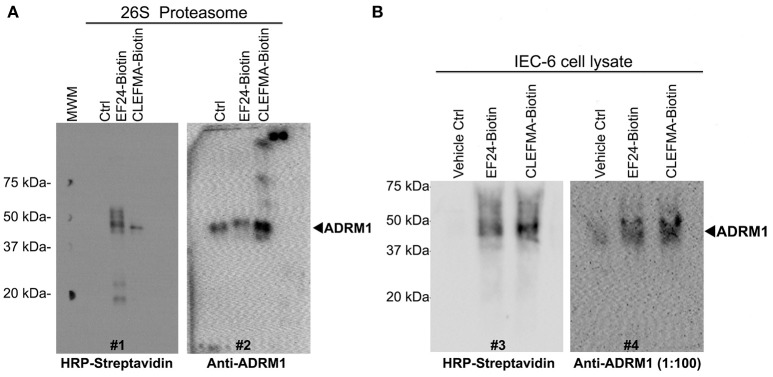CLEFMA and EF24 interact with RPN13 in the fully assembled 26S proteasome and whole cell lysate. (A) The biotinylated compounds were allowed to react with purified human 26S proteasome, the mixture was separated on poly-acrylamide gels, and the transfer membrane was probed with HRP-streptavidin (blot #1). The blot was stripped and re-probed with anti-human RPN13 (blot #2). (B) Streptavidin bead-mediated pull down of RPN13 from rat IEC-6 cell lysate treated with biotinylated EF24 or CLEFMA. After blotting with anti-human HRP-streptavidin (blot #3), the membrane was stripped and re-probed with anti-rat RPN13 antibody (blot #4).