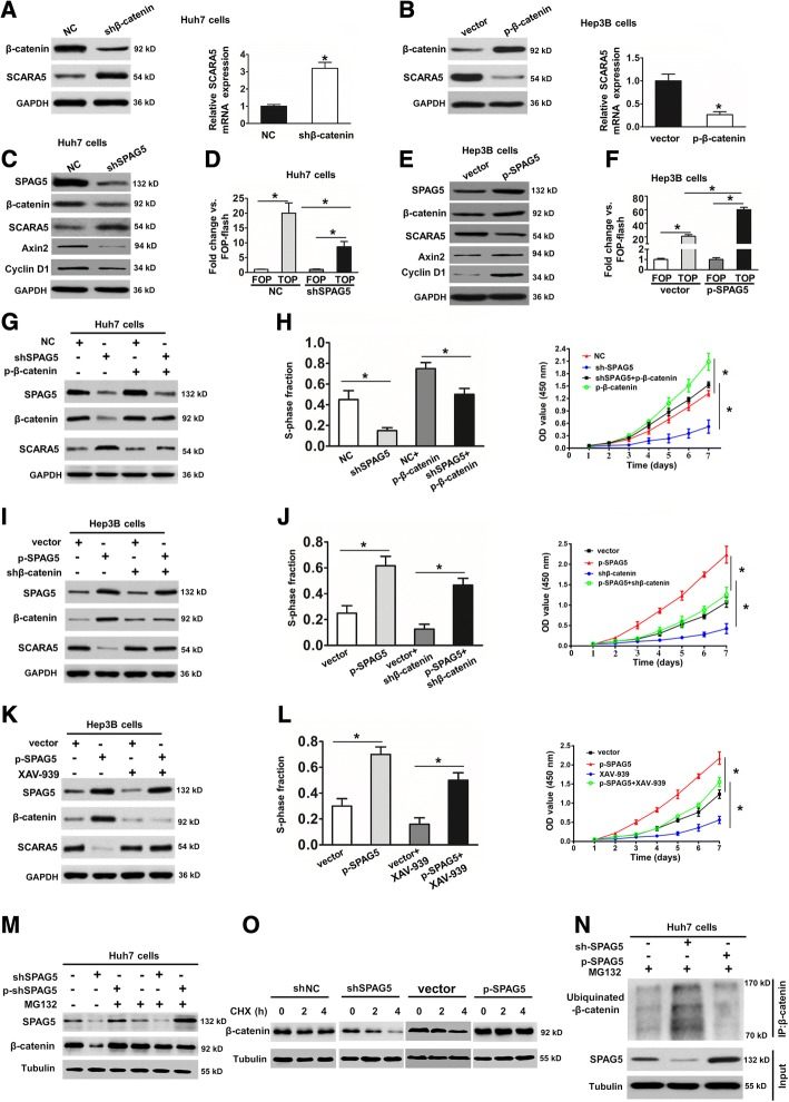 SPAG5 regulates SCARA5 expression through the <t>wnt/β-catenin</t> pathway in HCC cells. a , Western blot and qRT-PCR analyses were used to detect SCARA5 expression in Huh7 cells stably transfected with the shNC or the shβ-catenin plasmid. * p
