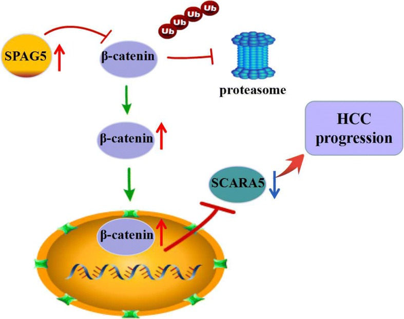 Proposed model by which SAPG5 promotes HCC progression by SCARA5 inhibition through modifying β-catenin ubiquitination