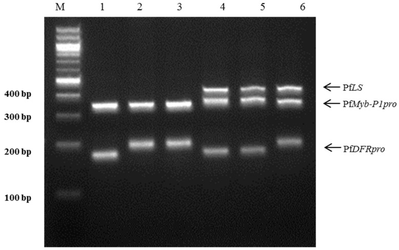 Multiplex PCR assay using three specific markers for the perilla subspecies in a single reaction. A mixture of three specific markers, PfLS , PfMyb - P1pro , and PfDFRpro , was used for PCR amplification. Lanes on 3% electrophoresis gel: M: 100 bp DNA ladder; 1–3: 'Cham-Dlggae', 'Ip-Dlggae', and 'Bora-Dlggae', respectively, which represent the three cultivar types of P . frutescens var. japonica ; 4: 'Jureum-soyeop', representing P . frutescens var. crispa ; 5: 'Jasoyeop', representing P . frutescens var. acuta ; 6: 'Chungsoyeop', representing P . frutescens f. viridis .
