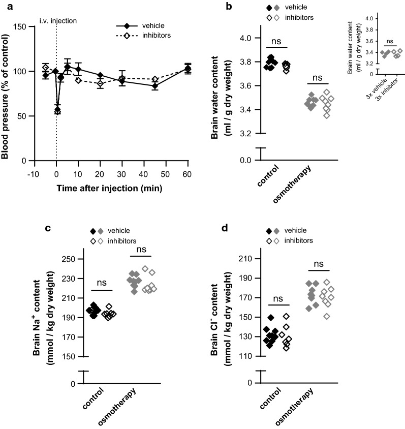 Inhibitors of ion-transporting mechanisms at the blood-side membranes do not affect water loss and electrolyte gain. a The arterial blood pressure was measured before and until 1 h after i.v. treatment with vehicle or inhibitors (10 mg/kg bumetanide, 6 mg/kg amiloride, and 20 mg/kg methazolamide). Values are given as the percentage of arterial blood pressure from the last control measurement (corresponding to 30 s before i.v. injection). The arterial blood pressure did not differ significantly from control measurements after 1 h (p > 0.90). The end arterial blood pressure was unchanged following inhibitor delivery, n = 3 of each, p > 0.90. b The brain water content was unaffected by i.v. inhibitor application in control rats [in (ml/g dry weight): vehicle: 3.79 ± 0.01 vs. inhibitors: 3.76 ± 0.01] and in rats subjected to NaCl-mediated osmotherapy (vehicle: 3.46 ± 0.01 vs. inhibitors: 3.45 ± 0.02), n = 7–9. Inset: Brain water content in osmotherapy-treated rats exposed to triple doses of vehicle (3.38 ± 0.02) or inhibitors (3.38 ± 0.02), n = 4 of each. c The brain Na + content (in mmol/kg dry weight) in control rats (vehicle: 197 ± 1 vs. inhibitors: 194 ± 1) and in rats exposed to osmotherapy (vehicle: 227 ± 2 vs. inhibitors: 224 ± 3), n = 7–9. d The brain Cl − content (in mmol/kg dry weight) in control rats (vehicle: 132 ± 3 vs. inhibitors: 131 ± 4) and in rats exposed to osmotherapy (vehicle: 173 ± 3 vs. inhibitors: 170 ± 4), n = 7–9. Vehicle values from control and osmotherapy-treated rats are from Fig. 2 a–c and included for comparison. Statistically significant differences were determined by a two-way ANOVA with Tukey's multiple comparisons post hoc test, except for values in the inset of b , which were analyzed using a two-tailed un-paired Student's t-test. ns not significant