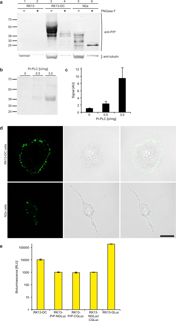 PrP-NGLuc and PrP-CGLuc expression in RK13-DC cells results in bioluminescence. ( a ) Western blot analysis with the Sha31 antibody against PrP shows that RK13-DC cells stably express PrP-NGLuc and PrP-CGLuc from a bicistronic expression vector (lanes 3 and 4). Non-transfected RK13 cells do not express PrP and do not show a detectable signal for PrP (lanes 1 and 2), whereas N2a cells show the characteristic signal for wild-type PrP (lanes 5 and 6). Deglycosylation of cell lysates with peptide-N-glycosidase F (PNGase F, lanes 2, 4, and 6) resulted in lower molecular weight bands suggesting that mature PrP-NGLuc and PrP-CGLuc are properly glycosylated in RK13-DC cells as PrP is in N2a cells. Detection of tubulin on the same blot served as a loading control. Additional lanes were excised for presentation purposes. ( b ) Western blot analysis with the Sha31 antibody against PrP shows that treatment of RK13-DC cells with increasing amounts of phosphoinositide phospholipase C (PI-PLC) increases the amount of detectable protein released into cell culture medium suggesting that mature PrP-NGLuc and PrP-CGLuc are anchored to the outer cell membrane by GPI. Additional lanes were excised for presentation purposes. ( c ) Densitometric quantification of the PrP signal from three different experiments as shown in ( b ). ( d ) Life cell immunofluorescence staining with the Sha31 antibody to PrP (left panels) shows that PrP-NGLuc and PrP-CGLuc are expressed in RK13-DC cells (top row), similar to wild-type PrP in N2a cells (bottom row). Bright-field microscopy (centre panels) shows the contours of the imaged cells. An overlay of fluorescence and bright-field images (right panels) shows that PrP-NGLuc, PrP-CGLuc, and PrP are located at the cell membrane. Bar = 20 µm. ( e ) The bioluminescence measured from RK13-DC cells expressing both PrP-NGLuc and PrP-CGLuc was more than 10-fold above background levels measured from RK13 cells stably expressing only PrP-NGLuc or PrP-CGLuc, or both 