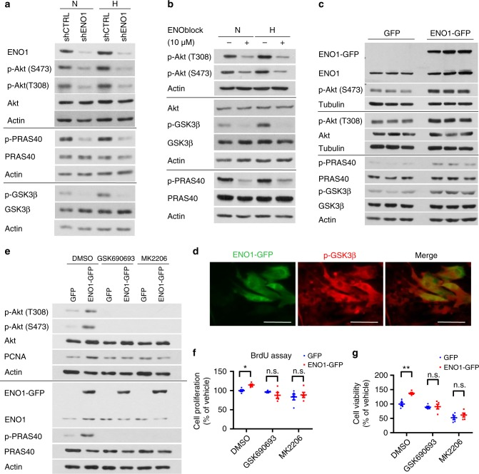 ENO1 promotes PASMC proliferation via the activation of the Akt-GSK3β pathway. a We treated shENO1 and shCTRL PASMC with hypoxia (1% O 2 ) for 8 h, and measured the levels of p-Akt, pan-Akt, p-PRAS40, PRAS40, p-GSK3β, and GSK3β by western blotting. b Normal PASMCs were treated with 10 μM ENOblock and hypoxia for 8 h, and the levels of p-Akt, pan-Akt, p-PRAS40, PRAS40, p-GSK3β, and GSK3β were measured by western blotting. c PASMCs were transfected with pCMV3-ENO1-GFP, and afterwards we measured the level of p-Akt, pan-Akt, p-PRAS40, PRAS40, p-GSK3β, and GSK3β using western blotting . d PASMCs were transfected with pCMV3-ENO1-GFP and immunostained with antibody against p-GSK3β. The green fluorescence indicates the GFP-tagged ENO1 and the red fluorescence indicates p-GSK3β (Scale bars, 50 μm). e PASMC were transfected with pCMV3-ENO1-GFP and treated with 1 μM GSK690693 or MK2206 for 12 h. The level of p-Akt, pan-Akt, and PCNA were measured by western blotting in the cell lysate. We also measured the f cell proliferation (using BrdU assay) and g cell viability in ENO1-overexpressing PASMC after the treatment of two Akt inhibitors: GSK690693 or MK2206 ( n = 5 per group, * P