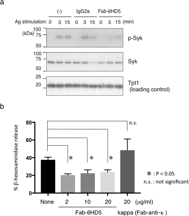 ( a ) Fab-6HD5 inhibits mast cell degranulation. RBL-2H3 cells were sensitized overnight with IgE (SPE-7) and further incubated with a serial dilution of highly purified Fab-6HD5 (2–20 μg/ml) for 2 hours at 37 °C. After washing, cells were incubated with DNP-BSA for 1 hour at 37 °C. The supernatant was then incubated with p-nitrophenyl N-acetyl-beta-D-glucosamine (PNAG) for 1 hour at 4 °C. IgE-mediated degranulation was monitored by β-hexosaminidase activity. The amount of β-hexosaminidase was determined by measuring the optical density at 405 nm. ( b ) Fab-6HD5 inhibits Syk phosphorylation. RBL-2H3 cells were incubated with anti-TNP IgE (0.5 μg/ml) for 1 hour. Cells were further incubated with highly purified 6HD5-Fab (2 μg/ml) or control IgG2a overnight. After washing, cells were stimulated with TNP26-BSA (100 ng/ml) for indicated periods and cell extracts were subjected to Western blotting. Proteins were detected with anti-phosphorylated Syk, anti-Syk, and anti-Tpt1 antibodies followed by HRP-conjugated anti-rabbit or anti-mouse antibody.