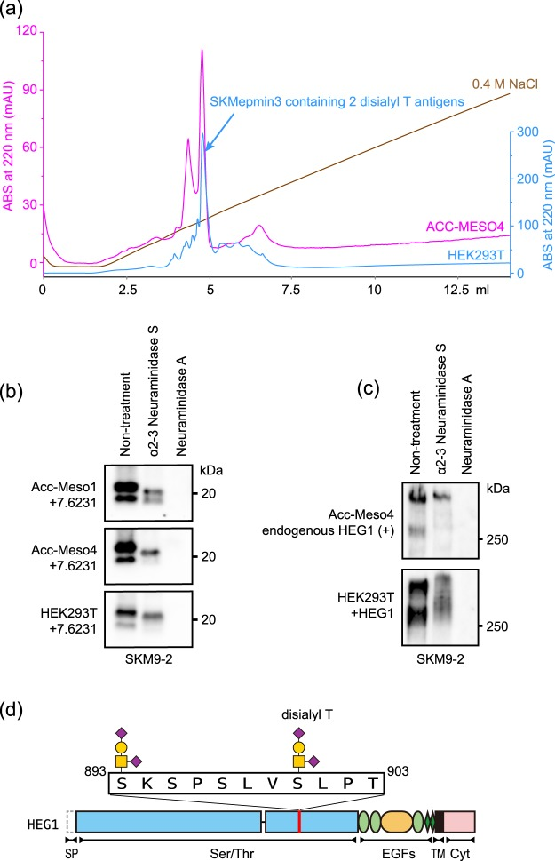 SKM9-2 epitope produced from mesothelioma cells. ( a ) Chromatogram of SKMepmin3 separation using anion exchange column. SKMepmin3 produced from HEK293T (blue line) or ACC-MESO4 (pink line) was affinity-purified using SKM9-2-immobilized resins and separated by Mini Q 4.6/50 PE. A major peak of SKMepmin3 purified from HEK293T contained two disialyl T antigens (Fig. 6 ). ( b ) Western blotting for epitope-fused GPI-anchor protein (7.6231) treated with neuraminidases. Cell lysate of 7.6231-transfected ACC-MESO1 (top panel), ACC-MESO4 (middle panel), or HEK293T (lower panel) was treated with α2-3 Neuraminidase S or Neuraminidase A, resolved by 4–15% SDS-PAGE, and analyzed by western blotting using SKM9-2. ( c ) Western blotting for full-length HEG1 treated with neuraminidases. Cell lysates of ACC-MESO4 (upper panel) and HEG1-transfected HEK293T (lower panel) were treated with α2-3 Neuraminidase S or Neuraminidase A and analyzed by 6% SDS-PAGE and western blotting using SKM9-2. ( d ) Schematic of SKM9-2 epitope. Full-length blots are presented in Supplementary Fig. S10 .