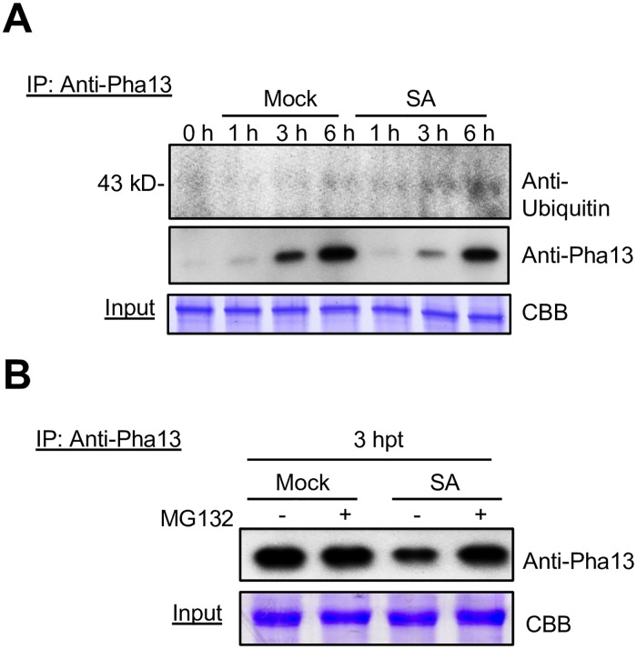 SA regulates Pha13 at post-translational level. (A) Total proteins were extracted from leaves of P . aphrodite without treatment (0 h), treated with H 2 O (Mock), or SA at different times (h), and used for in vivo immunoprecipitation (IP) assay using anti-Pha13 antibody. Samples after IP were analyzed by immunoblotting using anti-Pha13 or anti-ubiquitin antibody. (B) P . aphrodite was treated with H 2 O (Mock) or SA, and immediately followed by infiltration of DMSO (-) or MG132 (+). Total proteins were extracted from leaves of the treated samples at 3 h post-treatment, and were used for in vivo IP assay using anti-Pha13 antibodies. Samples after IP were analyzed by immunoblotting using anti-Pha13 antibody. (A and B) Extracted total proteins (input) stained by coomassie brilliant blue (CBB) served as a loading control.