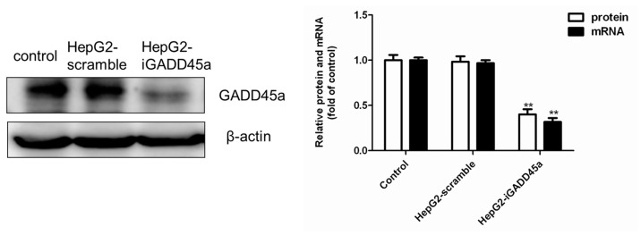 The protein and mRNA level of GADD45a was detected by western blot and qRT-PCR. β-actin mRNA amplification was used as a control for qRT-PCR. The data analysis results were exhibited in the right panels. All results were presented as mean ± SD, from three independent experiments. ** p