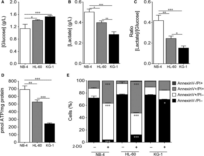 NB ‐4 cells present a high glycolytic metabolism followed by HL ‐60 and KG ‐1 cells. NB ‐4, HL ‐60 and KG ‐1 cells were maintained for 24 h in normal growth medium. (A) Extracellular glucose and (B) lactate levels were determined using glucose and lactate enzymatic detection kits. (C) The ratio between the extracellular lactate and glucose levels ([Lactate]/[Glucose]) was calculated. (D) Intracellular <t>ATP</t> levels were assessed by the <t>ENLITEN</t> ATP Assay System. (E) Cell viability quantification was determined by flow cytometry analysis of annexin V and propidium iodide ( PI )‐stained NB ‐4, HL ‐60 or KG ‐1 cells untreated or treated with 2‐ DG instead of glucose, for 24 h. The results presented as mean ± SEM of, at least, 3 independent biological replicates. One‐way ANOVA and Tukey's post hoc test were used to compare the extracellular glucose and lactate levels, the [Lactate]/[Glucose] ratio and the intracellular ATP levels between NB ‐4, HL 60 and KG ‐1 cells. Annexin V/ PI data were analysed using 2‐way ANOVA and Bonferroni's post hoc test. * P